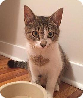 Domestic Shorthair Cat for adoption in Philadelphia, Pennsylvania - Siobhan