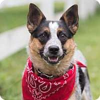 Australian Cattle Dog Dog for adoption in Union Grove, Wisconsin - Callie-LOWERED FEE