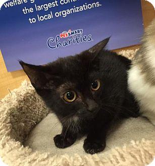 Bombay Kitten for adoption in Atlanta, Georgia - Kittiot