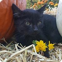 Adopt A Pet :: Kahlua - Oakland, MI