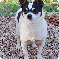 Chihuahua Mix Dog for adoption in Overland Park, Kansas - Meg
