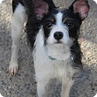 Terrier (Unknown Type, Small) Mix Dog for adoption in Yuba City, California - Dexter