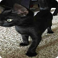 Domestic Mediumhair Cat for adoption in San Antonio, Texas - BABY KITTY