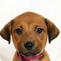 Adopt A Pet :: Nova Boxer Mix - St. Louis, MO