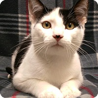 Domestic Shorthair Kitten for adoption in Watauga, Texas - Lefty