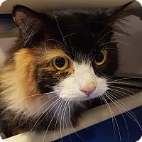Domestic Longhair Cat for adoption in Salisbury, Massachusetts - Jenner