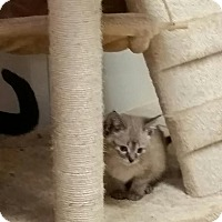 Siamese Kitten for adoption in Chippewa Falls, Wisconsin - Abrielle