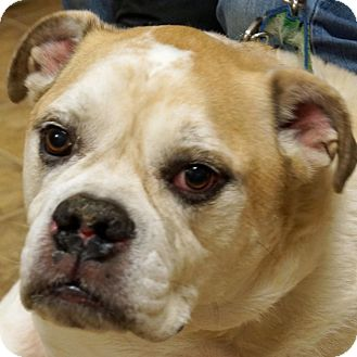 American Bulldog Mix Dog for adoption in Sprakers, New York - Knuckles