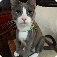 Adopt A Pet :: Teddy Spaghetti - The Colony, TX