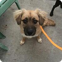 Adopt A Pet :: Captain Corona - Newport Beach, CA