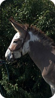 Donkey/Mule/Burro/Hinny Mix for adoption in Malvern, Iowa - Shadow