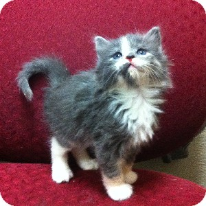 Domestic Longhair Kitten for adoption in Gilbert, Arizona - Ranee