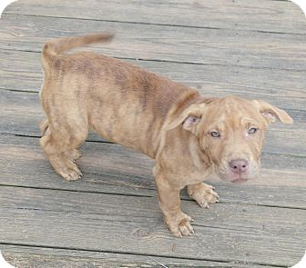 Mastiff/Labrador Retriever Mix Puppy for adoption in Seneca, South Carolina - Willow $200