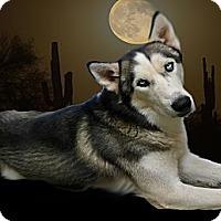 Adopt A Pet :: Alaska - Gilbert, AZ