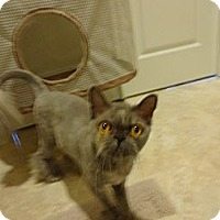 Adopt A Pet :: Princess (declawed) - Beverly Hills, CA