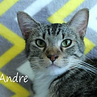 Domestic Shorthair Cat for adoption in Wichita Falls, Texas - Andre