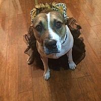 Adopt A Pet :: ROXIE - Whitestone, NY