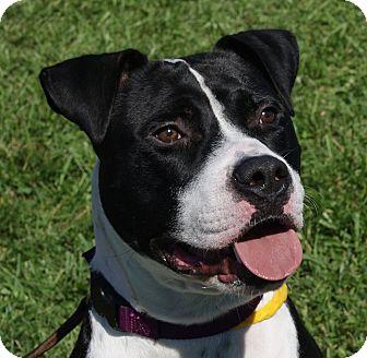 Boxer/American Bulldog Mix Dog for adoption in Monroe, Michigan - Hootie