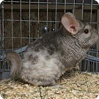Adopt A Pet :: Mal - Hammond, IN