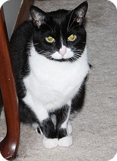 Domestic Shorthair Cat for adoption in Naperville, Illinois - Luna-$25.00
