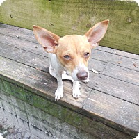 Jack Russell Terrier Dog for adoption in Old Town, Florida - Jack
