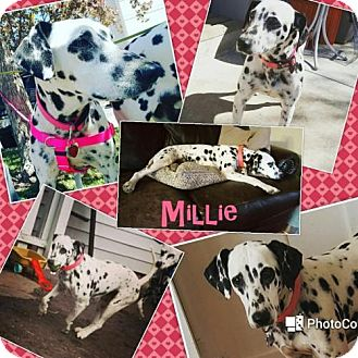 Dalmatian Dog for adoption in Fort Collins, Colorado - Millie