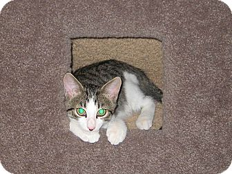 Domestic Shorthair Kitten for adoption in Tampa, Florida - Axel