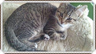 Domestic Shorthair Kitten for adoption in Okotoks, Alberta - George