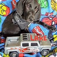 Adopt A Pet :: Lake - Hopkinton, MA