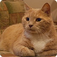 Domestic Shorthair Cat for adoption in Woodstock, Georgia - T.C.