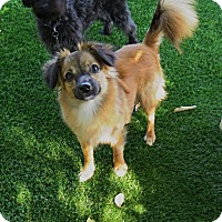 Papillon/Chihuahua Mix Dog for adoption in San Antonio, Texas - Bear