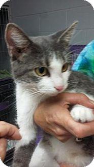 Domestic Shorthair Cat for adoption in Paducah, Kentucky - Lantana