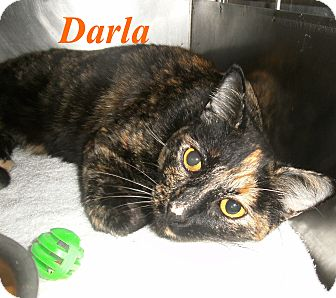 Domestic Shorthair Cat for adoption in El Cajon, California - Darla