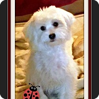 Maltese Puppy for adoption in Las Vegas, Nevada - Jimi
