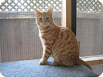 Domestic Shorthair Cat for adoption in Sherman Oaks, California - Poppy
