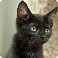 Adopt A Pet :: Raven - Great Falls, MT