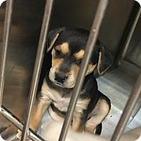 Adopt A Pet :: Goose - San Antonio, TX