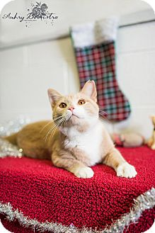 Domestic Shorthair Cat for adoption in Stanton, Michigan - Kringle-$20!