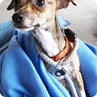 Adopt A Pet :: Brin - Castro Valley, CA