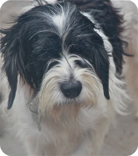 Schnauzer (Standard) Mix Dog for adoption in Norwalk, Connecticut - Magnolia
