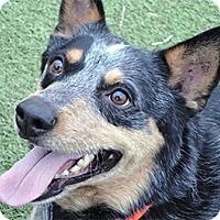 Adopt A Pet :: Coal - Meridian, ID