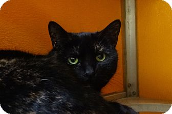 Domestic Shorthair Cat for adoption in Elyria, Ohio - Chloe