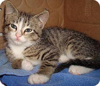Domestic Shorthair Kitten for adoption in Basehor, Kansas - Pippa