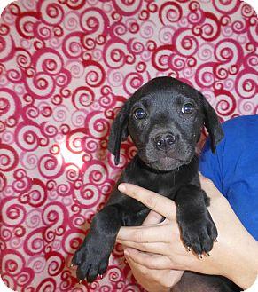 Labrador Retriever Mix Puppy for adoption in Oviedo, Florida - Izzie