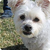 Adopt A Pet :: Rambo - Mt. Prospect, IL