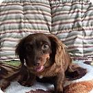 Adopt A Pet :: Miss Molly (POM-DC)