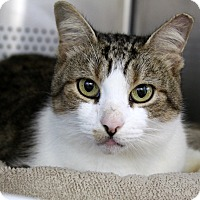 Domestic Shorthair Cat for adoption in Sarasota, Florida - Camus