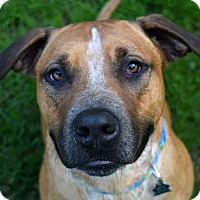 Labrador Retriever/Rhodesian Ridgeback Mix Dog for adoption in Pontiac, Michigan - Bella