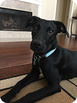 Labrador Retriever/Retriever (Unknown Type) Mix Dog for adoption in Austin, Texas - Kinzie