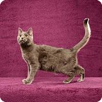 Adopt A Pet :: Ronaldo (Kitten) - Cary, NC